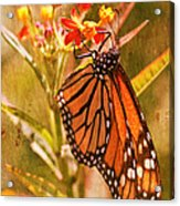The Beauty Of A Butterfly Acrylic Print