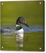 The Beauty Of A Common Loon Acrylic Print