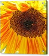 The Beauty Of A Sunflower Acrylic Print