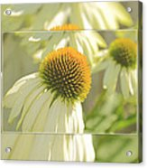The Beauty Of The Coneflower Acrylic Print