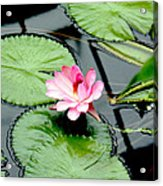 The Beauty Of Water Lily Acrylic Print