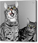 The Bengals Acrylic Print