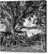The Biggest Rain Tree In Thailand Acrylic Print