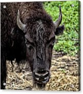 The Bison Stare Acrylic Print