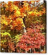 The Blaze Of Autumn Acrylic Print