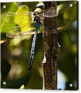 The Blue Dragon Fly Acrylic Print