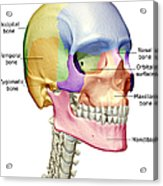 The Bones Of The Head, Neck And Face Acrylic Print