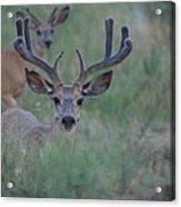 The Bucks Acrylic Print