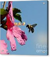 The Bumblebee And The Rose If Sharon Acrylic Print