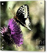The Butterfly II Acrylic Print