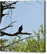 The Buzzard Is Two Faced Acrylic Print
