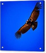 The California Condor Acrylic Print