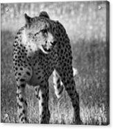 The Cheetah  Acrylic Print