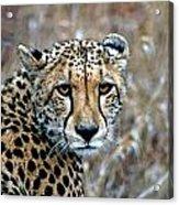 The Cheetah Stare Acrylic Print