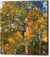 The Colors Of The Aspen Forest Acrylic Print