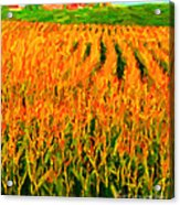 The Cornfield Acrylic Print by Wingsdomain Art and Photography