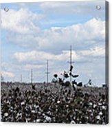 The Cotton Crops Of Limestone County Alabama Acrylic Print