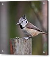 The Crested Tit Having Lunch Acrylic Print