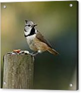 The Crested Tit Acrylic Print
