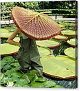 The Cut Pad Of A Victoria Amazonica Acrylic Print