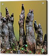 The Cypress Knees Chorus Acrylic Print