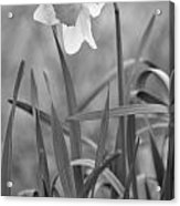 The Daffodil In Black-and-white Acrylic Print