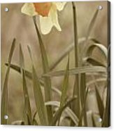 The Daffodil In Partial Sepia Acrylic Print