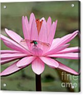 The Dragonfly And The Pink Water Lily Acrylic Print