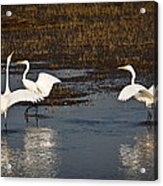 The Egrets Acrylic Print