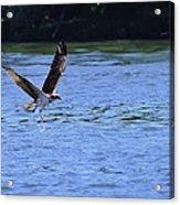 The Environmentalist Osprey Acrylic Print