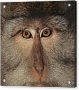 The Face Of A Long-tailed Macaque Acrylic Print