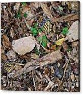 The Fallen Butterfly Wings Acrylic Print
