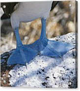 The Feet Of A Blue Footed Booby Bird Acrylic Print by Gina Martin