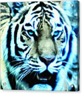 The Fierce Tiger Acrylic Print