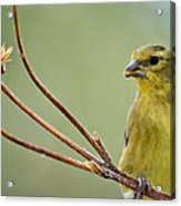 The Finch  Acrylic Print