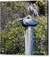 The Gatekeeper - Pelican Acrylic Print