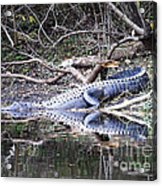The Gator That Lives Under The Bridge Acrylic Print