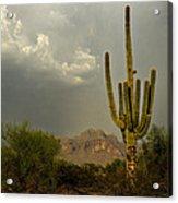 The Golden Saguaro  Acrylic Print