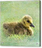 The Gosling Acrylic Print