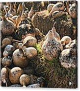 The Gourd Family Acrylic Print