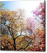 The Grandest Of Dreams - Cherry Blossoms - Brooklyn Botanic Garden Acrylic Print