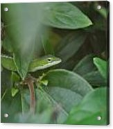 The Green Lizard Acrylic Print