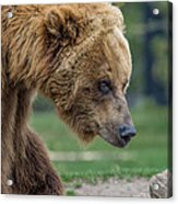 The Grizzly In Spring Acrylic Print
