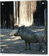 The Handsome Warthog Acrylic Print
