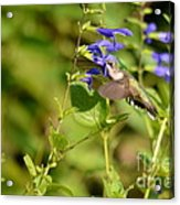 The Hummers Muzzle  Acrylic Print