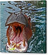 The Hungry Hippo Acrylic Print