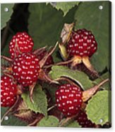 The Invasive Wine Berry And Shield Bugs Acrylic Print