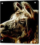 The Legendary Llama  Acrylic Print