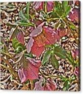 The Lenten Rose Acrylic Print