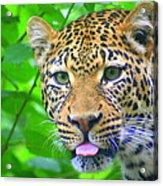 The Leopard's Tongue Acrylic Print